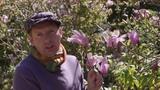Comment planter un Magnolia