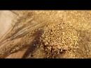 Wheat _ ARN CR64M