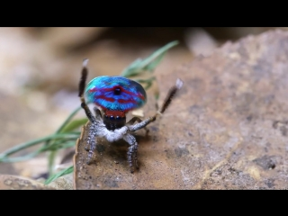 Peacock Spider Stayin Alive
