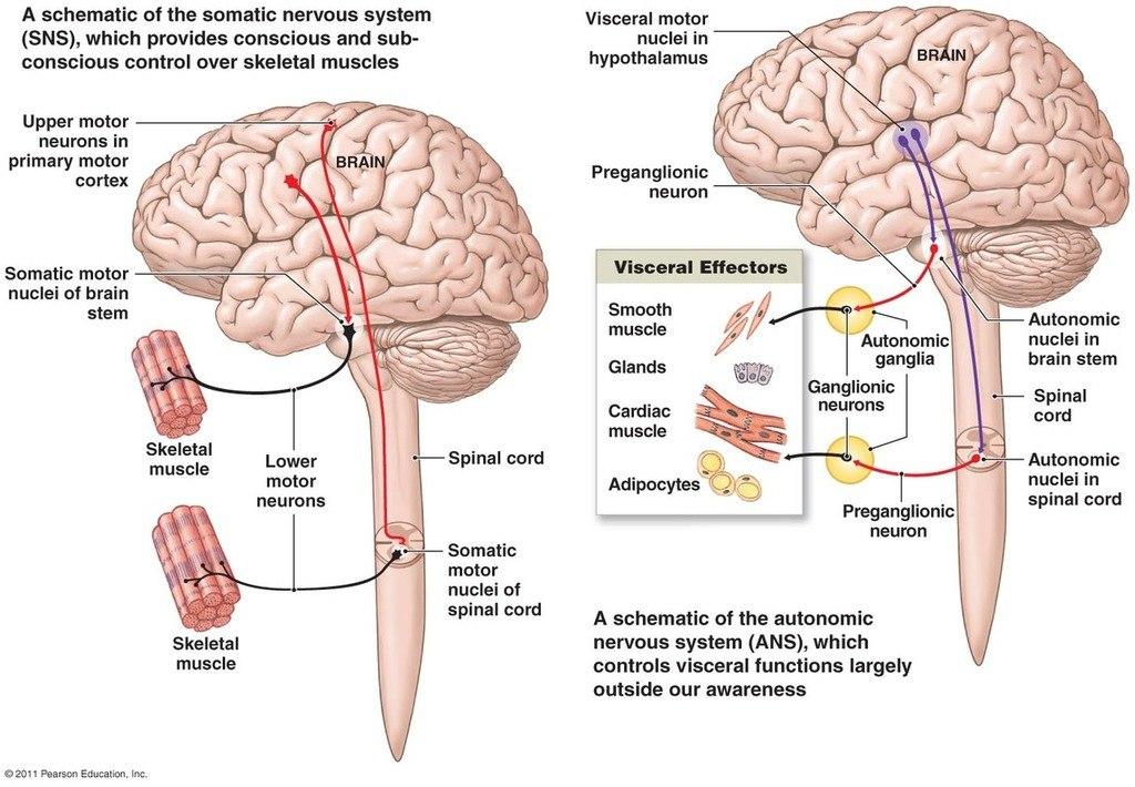 Анатомия: Раздел им. integer: Соматическая нервная система, мотонейроны