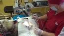 Хирургическое лечение катаракты у волка