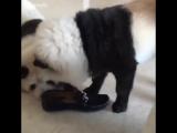 Панда собака