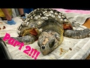 Removing barnacles from sea turtles VERY SATISFYING ЗООЗАЩИТНИКИ