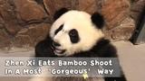 Zhen Xi Eats Bamboo Shoot In A Most Gorgeous Way iPanda