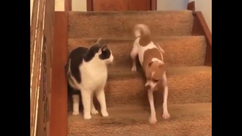 Cat Activates Dogs Turbo Mode