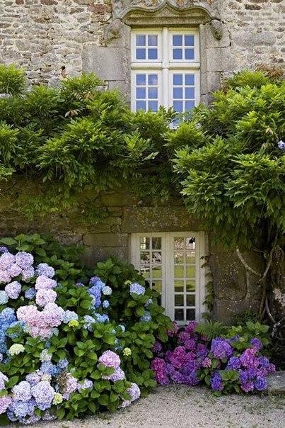 Гортензии - изумительные по красоте и разнообразию кустарники.