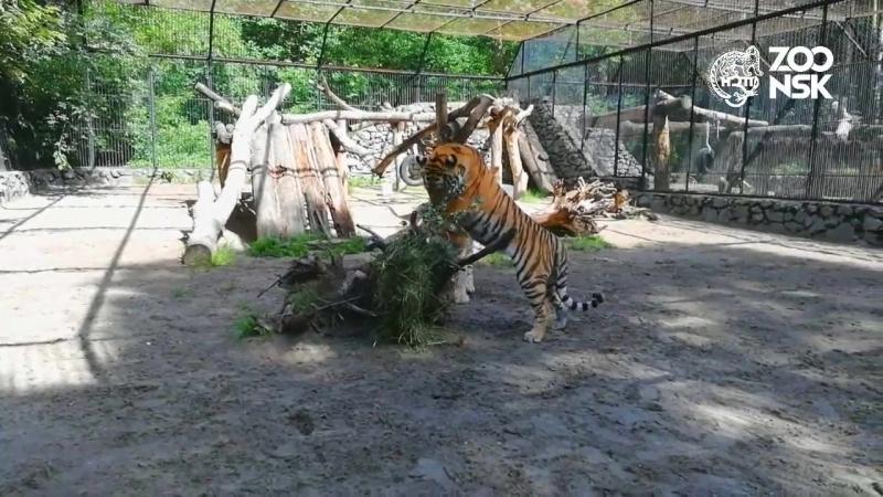 День Амурского тигра в Новосибирском зоопарке имени Р.А. Шило