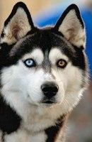 """Хаски 4, собака, глаза.  Предпросмотр схемы вышивки  """"Хаски 4 """" ."""