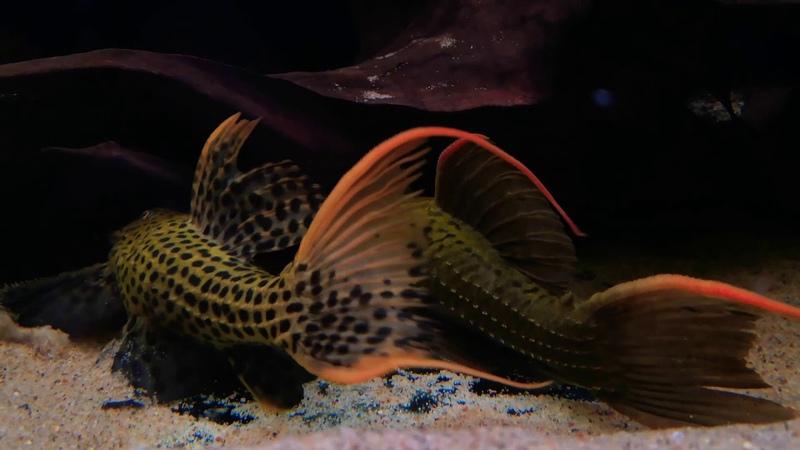 Pseudacanthicus pitanga L-024 female vs pirarara L-025 male