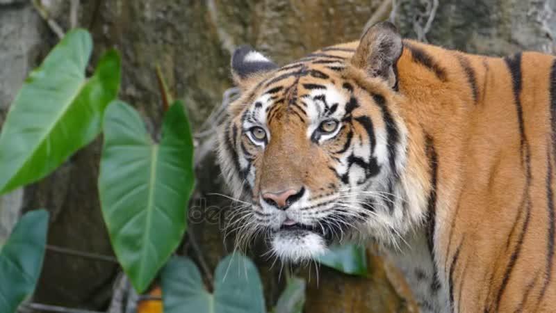 Depositphotos_94663942-stock-video-portrait-of-a-bengal-tiger.mp4