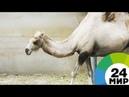 Попавший в аварию верблюд пять часов шел по иркутской тайге - МИР 24