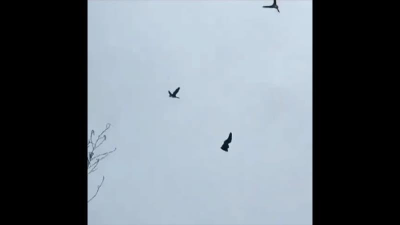 Налёт гусей