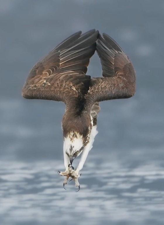 Фото орла, сделанное за мгновение до погружения в воду.