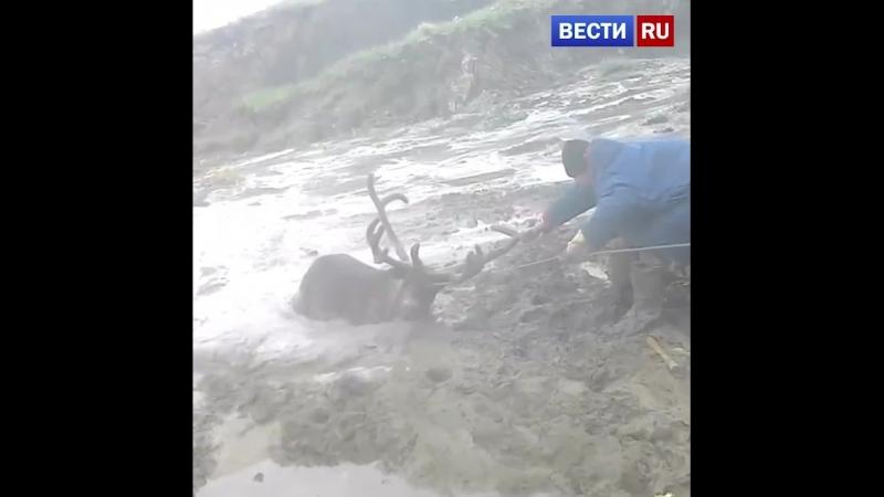 Мужчины спасли застрявшего в трясине оленя