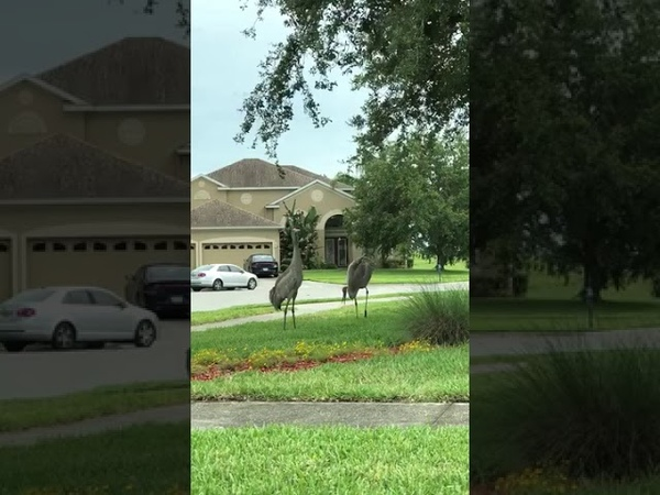 Cranes Dance in the Yard - 991017