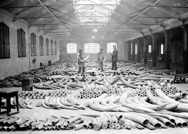 Черно-белые снимки с невероятным количеством слоновьих бивней.
