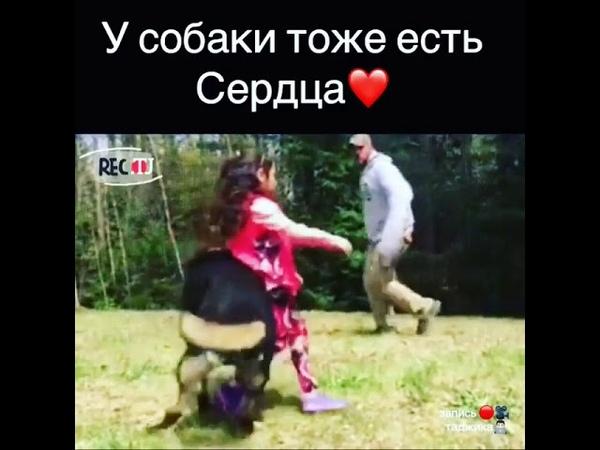 Собака Авчарка саги вафодор