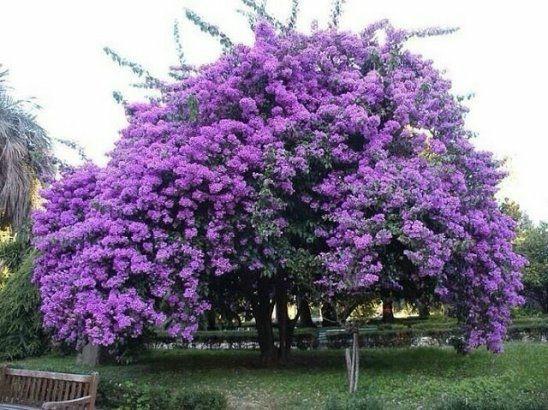 Жакаранда — прекрасные цветки-колокольчики.