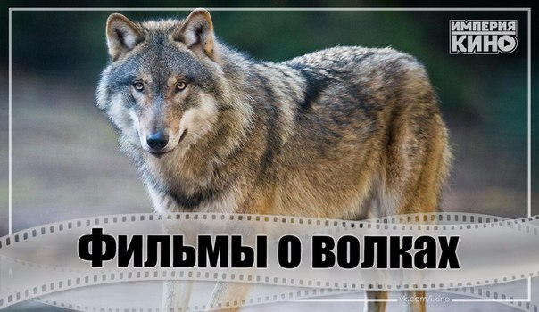 Невероятно захватывающие фильмы об очень умных и опасных волках.