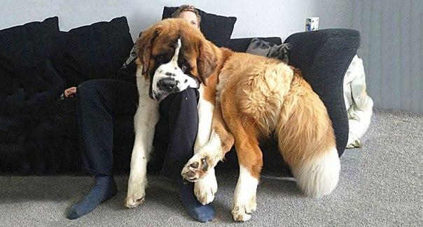 20 больших собак, которые не осознают, насколько они огромны: ↪ Какие милаши!