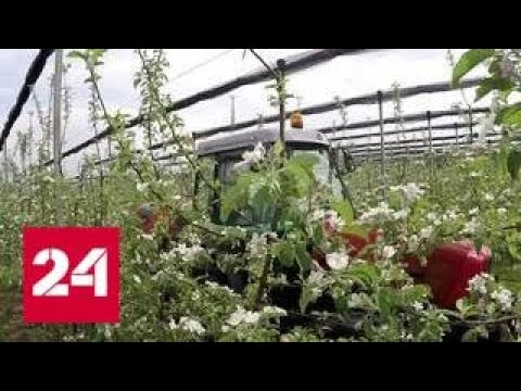 Миллион цветущих яблонь в Северной Осетии зацвел крупнейший сад на Кавказе - Россия 24