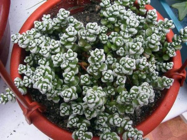 КРАССУЛА КОРАЛЛИНА Крассула кораллина (Crassula corallina) - одна из самых миниатюрных толстянок в природе.Размер от одного кончика листика до другого не более 6 мм. Цветки ещё более миниатюрны