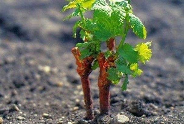 отличный способ вырастить черенки винограда обычно виноград размножают одревесневшими черенками. зимой самое время заняться этим делом, так как, посадив черенки на подоконники, можно за год