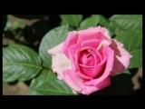 Вот такая красота в саду у нашей МАМЫ  КАТИ )))
