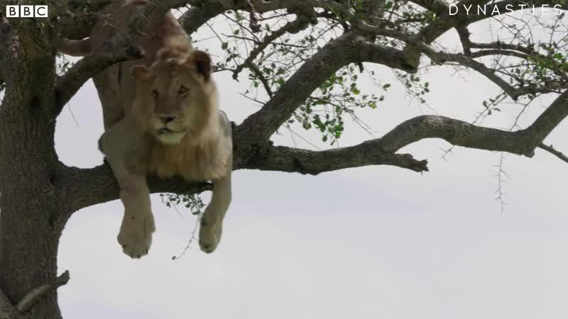 Лев застрял на дереве