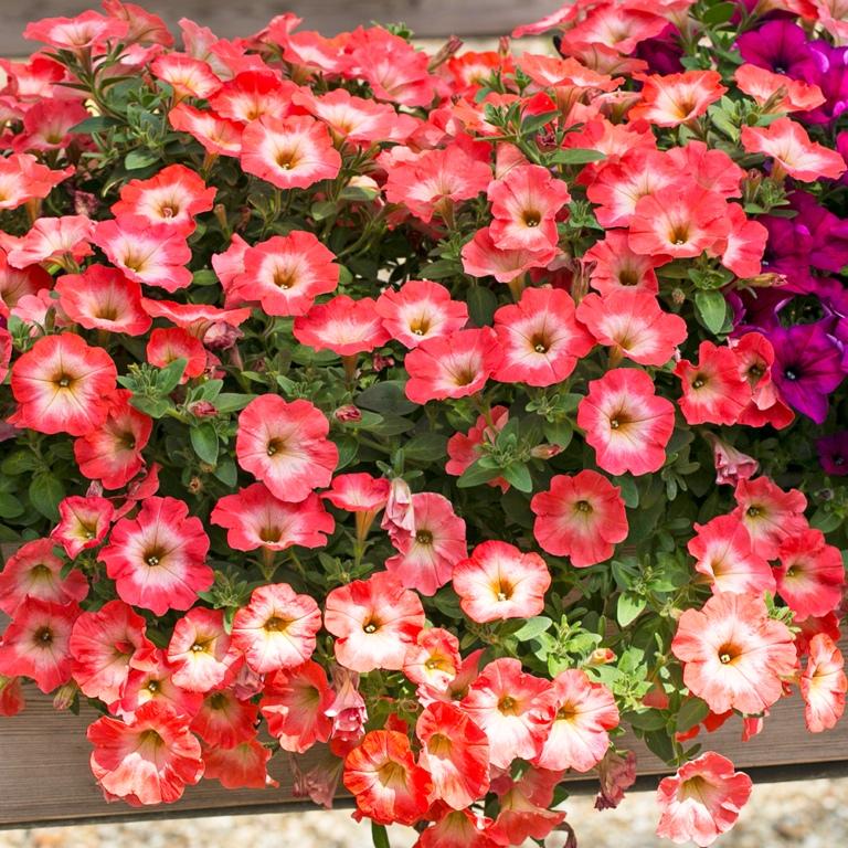 Пора подумать о цветочной рассаде! 5 шагов до хорошей рассады петуний
