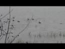 Утки на Онеге.9545