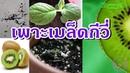 Kiwi | วิธีเพาะเมล็ดกีวี่ ปลูกต้นกีวี่