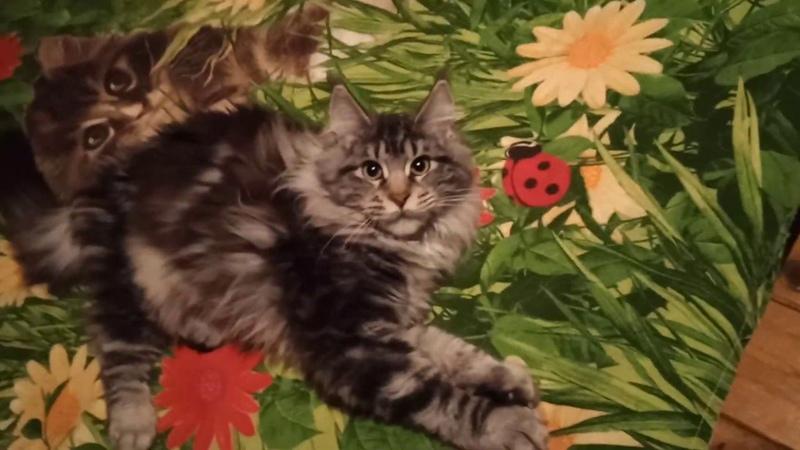 4.5 мес.Кошка Rosalia Rysenok(ns22)продана