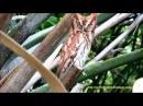 Evil Owl Original Natural Transformer Owls