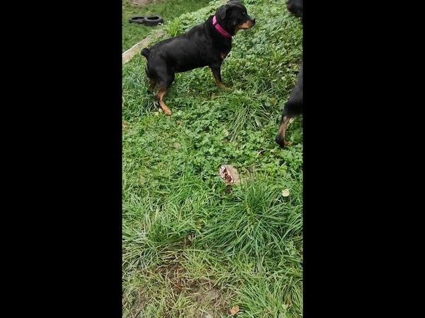 Знакомство собак Ротвейлеры Ненси и Бася