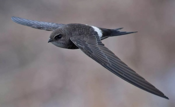 Разница между стрижами и ласточками Глядя на красиво парящую в небесах птицу, вряд ли задумываешься, к какому виду или отряду она относится. Скорее завидуешь ее высокому полету, бесконечной