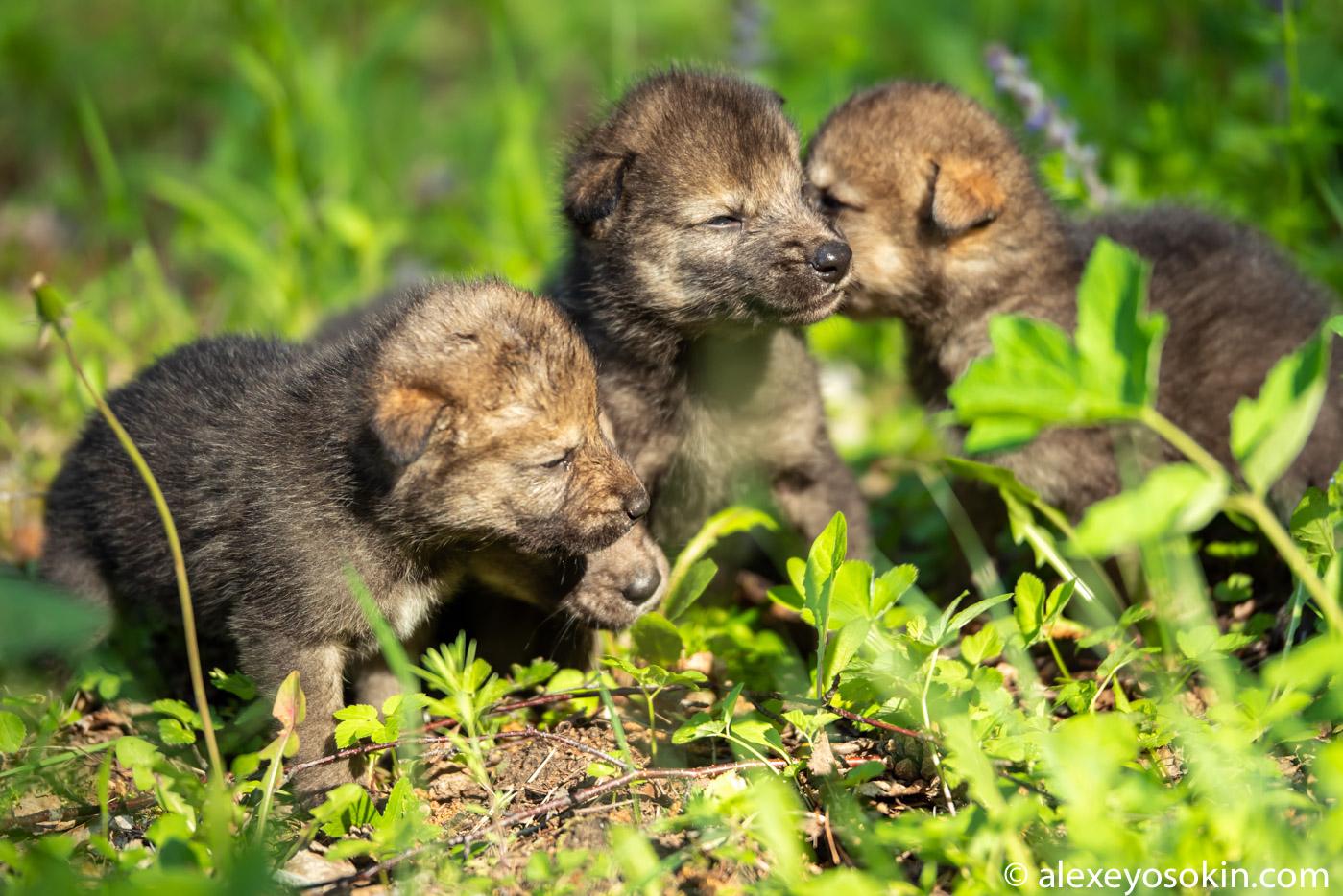 fsrMiXb0aO8 - Фото новорожденных волчат