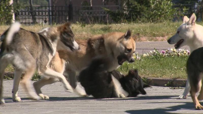 Хищная стая собак в центре города