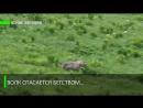 Загнанный хищник или Охота в которой что то пошло не так