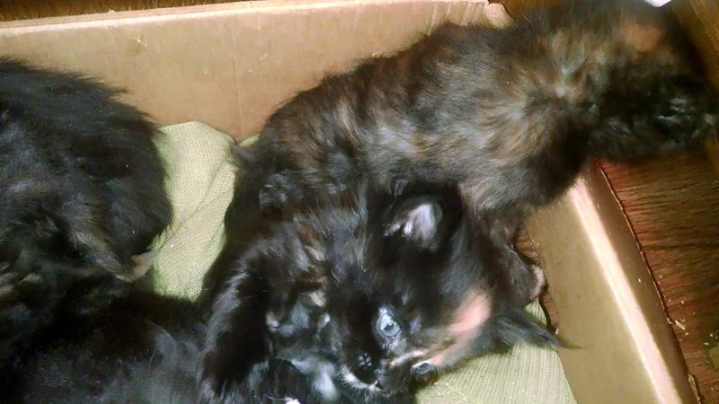 Небольшой фильм о счастливых котятах Мейн-кунах. A short film about happy Maine Coon kittens.