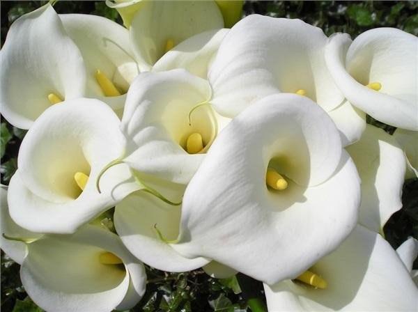 никогда не думали завести каллы дома давайте узнаем, подойдут ли вам эти цветы.ваша жизнь может чудесно измениться, благодаря этим чудесным цветам, но есть одно но — если вам они не нравятся, то