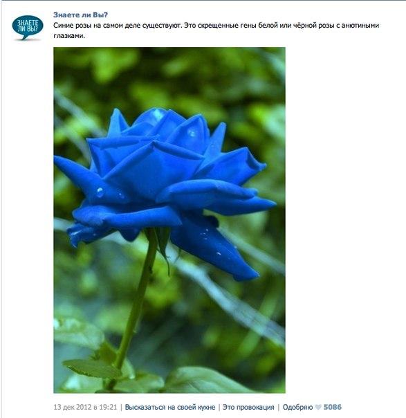 Роза синяя как сделать