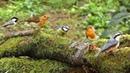 Woodland Birds - Vögel - Oiseaux - Vogels - Fåglar - Aves