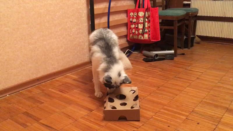 Домашняя лиса мышкует
