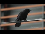 Crows Documentary on The Intelligent World of Crows (Full Documentary)
