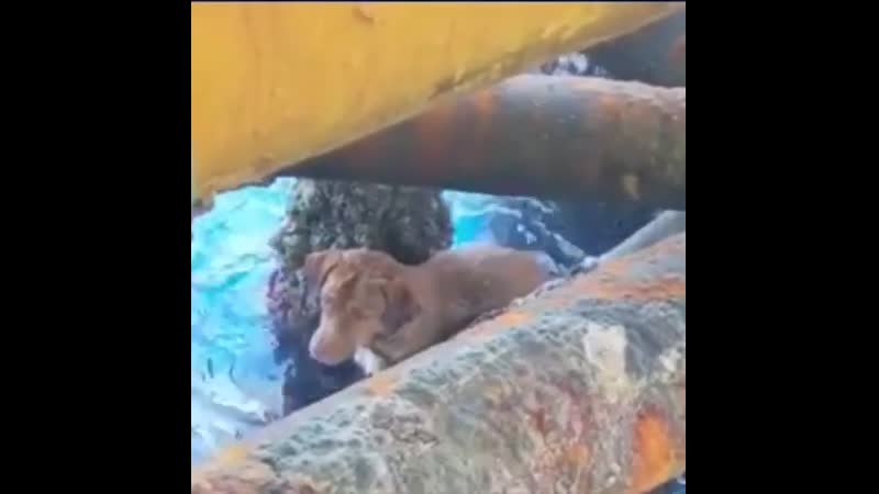 This dog was rescued by a team of oil rig workers after it swam more than 135 miles from the shore in the Gulf of Thailand and e