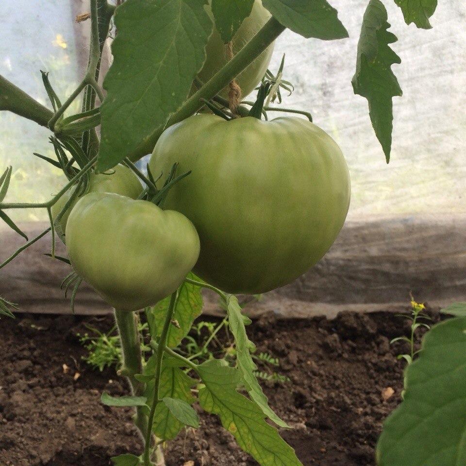 томаты банзай фото