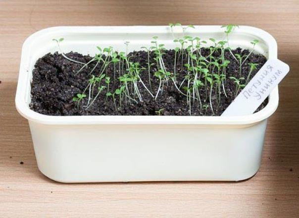 сеем петунию в снег петуния привлекает разнообразием сортов, гибридов и простотой выращивания. убедитесь в этом, посеяв вместе с нами петунию по снегу! рассаду петунии вырастить не сложно, для