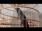 Еndemic Black-throated Laughingthrush (Kh