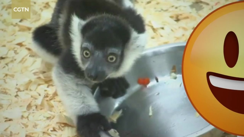 Three white-belted ruffed lemurs were born on April 22